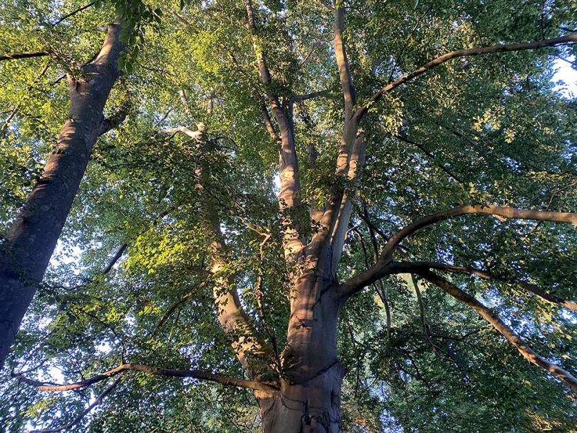 tree seen from beneath